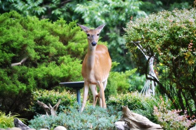 deer at the garden