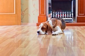 Dog on a hardwood floor