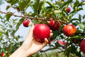 An apple being harvested
