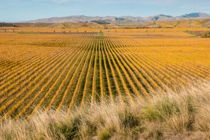 Vineyards in Marlborough