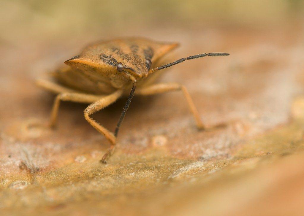 Bedbug closeup