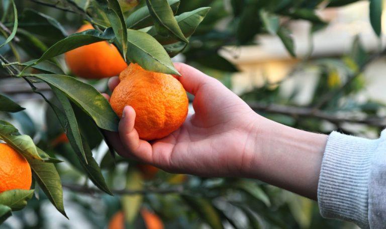 Someone picking an orange