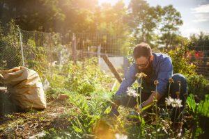 Gardener planting in his garden