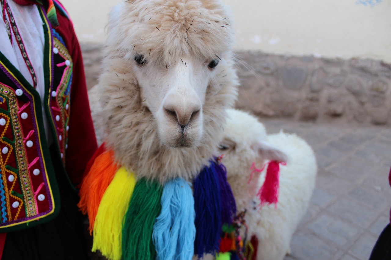 alpaca with a person