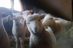 sheep smiling at camera